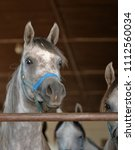 groups of grey arabian purebred ... | Shutterstock . vector #1112560034