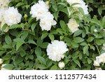rosa x fortuniana  fortuniana... | Shutterstock . vector #1112577434