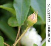rosa x fortuniana  fortuniana... | Shutterstock . vector #1112577440