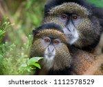 mother and baby golden monkey... | Shutterstock . vector #1112578529