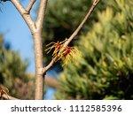 japanese witch hazel  ... | Shutterstock . vector #1112585396