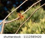 japanese witch hazel  ... | Shutterstock . vector #1112585420