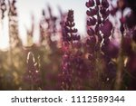 flowering lupines at sunset.... | Shutterstock . vector #1112589344