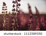 flowering lupines at sunset.... | Shutterstock . vector #1112589350