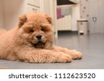 chow chow puppy in the house.... | Shutterstock . vector #1112623520