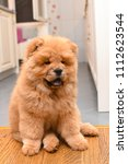 chow chow puppy in the house.... | Shutterstock . vector #1112623544