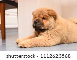 chow chow puppy in the house.... | Shutterstock . vector #1112623568