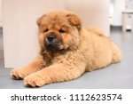 chow chow puppy in the house.... | Shutterstock . vector #1112623574