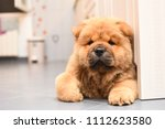 chow chow puppy in the house.... | Shutterstock . vector #1112623580
