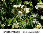 rosa brunonii  himalayan musk...   Shutterstock . vector #1112637830