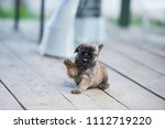 Stock photo brussels griffon puppy one month old plays with a wind tongue out 1112719220