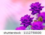 bright colorful flower rose in... | Shutterstock . vector #1112750030