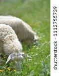 Herd Of Sheep Crosses The Gree...