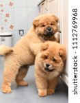 two chow chow puppy in the... | Shutterstock . vector #1112769968