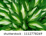 Variegated Green Leaves Of...