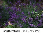 lavender flowers blooming in a... | Shutterstock . vector #1112797190