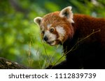 closeup of a red panda eating... | Shutterstock . vector #1112839739