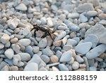 crab on pebble beach in... | Shutterstock . vector #1112888159