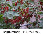 bush of red currant | Shutterstock . vector #1112931758