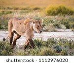 female lion lioness stalking an ... | Shutterstock . vector #1112976020