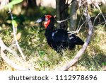 southern ground hornbill in... | Shutterstock . vector #1112978696