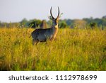 waterbuck antelope in liwonde n.... | Shutterstock . vector #1112978699