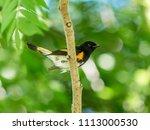 american redstart  deep in a... | Shutterstock . vector #1113000530