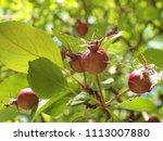 Crabapple Tree Fruit