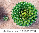 agave succulent plant ...   Shutterstock . vector #1113012980