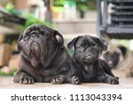 baby pug dog playing with mama... | Shutterstock . vector #1113043394