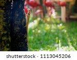 oriental garden lizard is... | Shutterstock . vector #1113045206