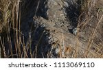 lizard on rock behind brush | Shutterstock . vector #1113069110