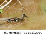 Mallard Duck Swimming In River...