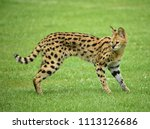 Serval in the savanna