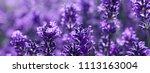 field lavender morning summer... | Shutterstock . vector #1113163004