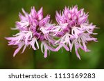 orchis italica  naked man...   Shutterstock . vector #1113169283