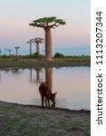 beautiful baobab trees at... | Shutterstock . vector #1113207344