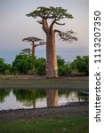 beautiful baobab trees at... | Shutterstock . vector #1113207350