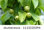 Small photo of Pear tree of Pyrus pyrifolia (unripe fruits) Rosaceae family.