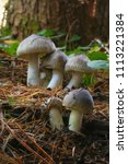 Small photo of Japanese wild mushroom, Tricholoma portentosum