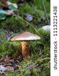 Small photo of Japanese wild mushroom, Tricholoma robustum