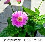gerbera flower  gerbera blossom ... | Shutterstock . vector #1113229784