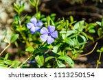 blue linen flowers on flowerbed ... | Shutterstock . vector #1113250154