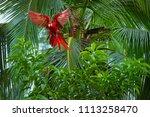 ara macao  scarlet macaw   big  ... | Shutterstock . vector #1113258470
