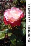flowering red white english... | Shutterstock . vector #1113260684