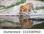 bengal tiger drinking water... | Shutterstock . vector #1113260963
