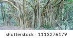 gajumaru  banyan tree  can be... | Shutterstock . vector #1113276179