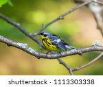 magnolia warbler perched deep... | Shutterstock . vector #1113303338