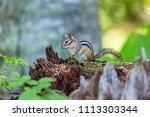 chipmunk  deep in a boreal... | Shutterstock . vector #1113303344