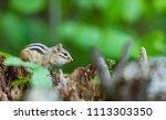 chipmunk  deep in a boreal... | Shutterstock . vector #1113303350